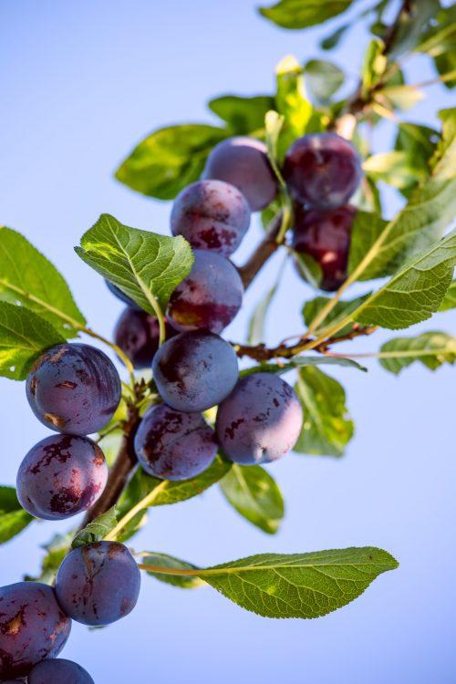 frutos de temporada